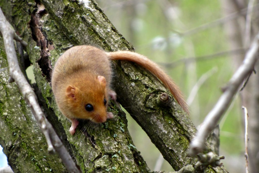 Hazel or common dormouse (Muscardinus avellanarius)