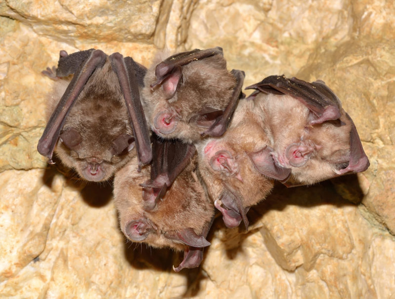 Lesser Horseshoe Bat (Rhinolophus hipposideros) in cave