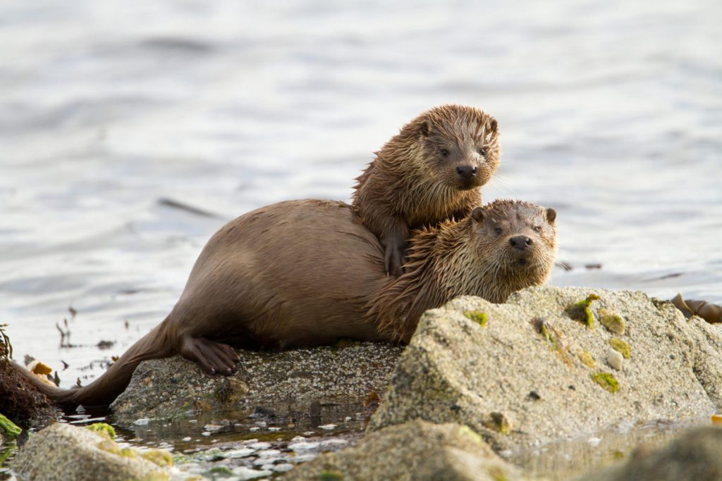 European otters (Lutra lutra), mother with a cub on shoreline.