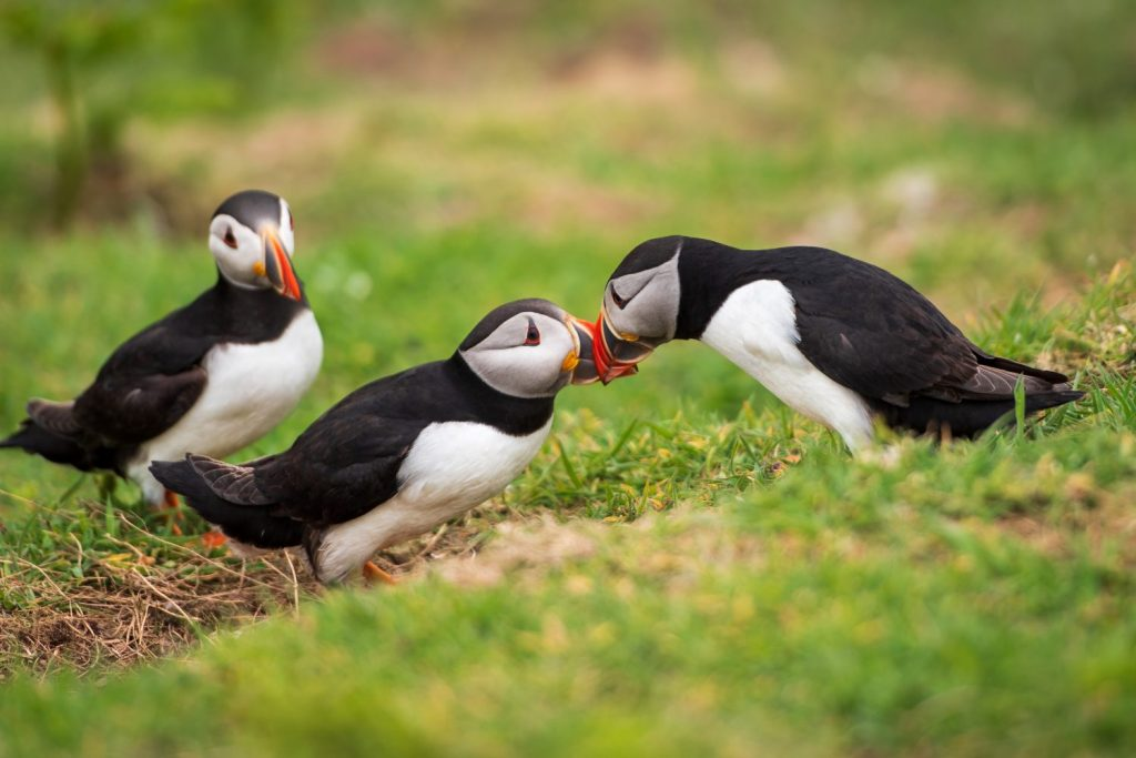 Puffins of Skomer Island, Pembrokeshire, Wales