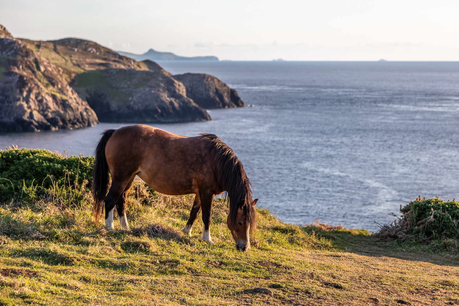 Welsh Mountain Ponies at Strumble Head, Pembrokeshire, Wales, UK