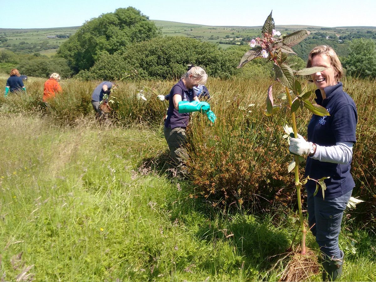 Himalayan Balsam Bashing event in the Pembrokeshire Coast National Park
