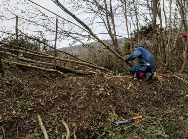 Hedgelaying at Brandy Brook, Pembrokeshire Wales, UK as part of the Naturally Connected Projectq