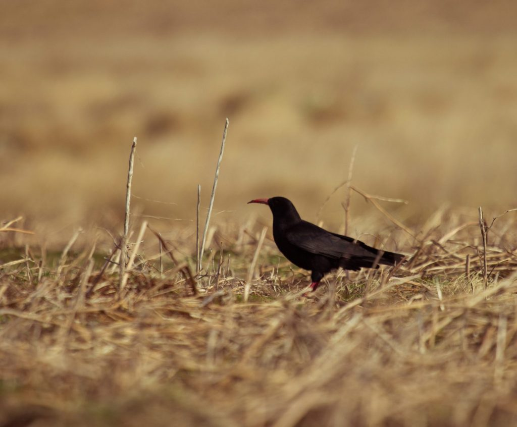 Chough taken by National Park Ranger Chris Taylor