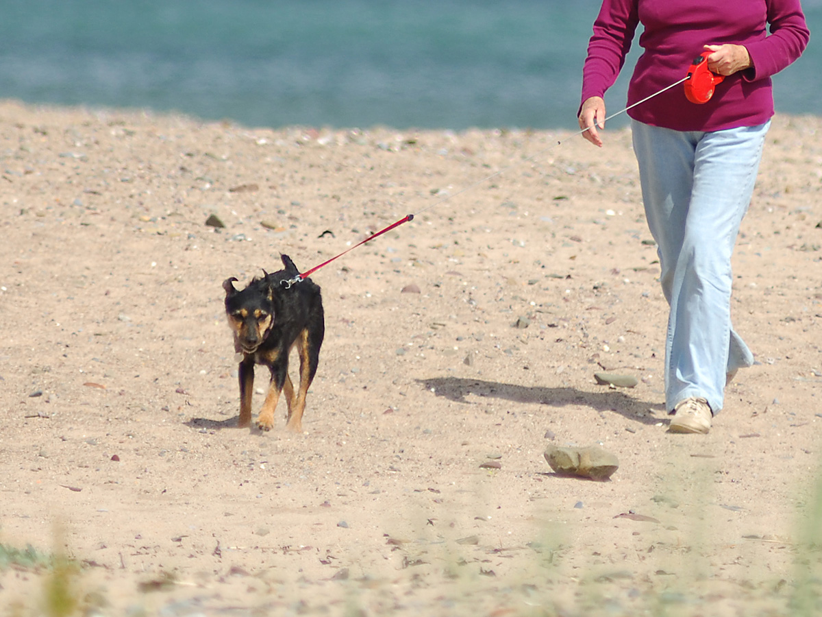 Dog being walked on a lead on Freshwater East Beach, Pembrokeshire, Wales, UK