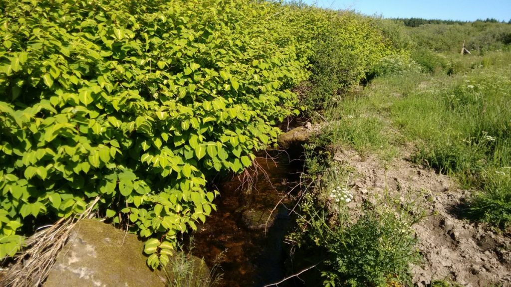 Knotweed in a tributary of the River Gwaun, Pembrokeshire, Wales, UK