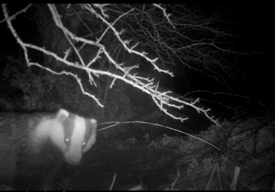 Badgers on the Penrhiw Hotel Wildlife Cam, St Davids, Pembrokeshire, Wales, UK