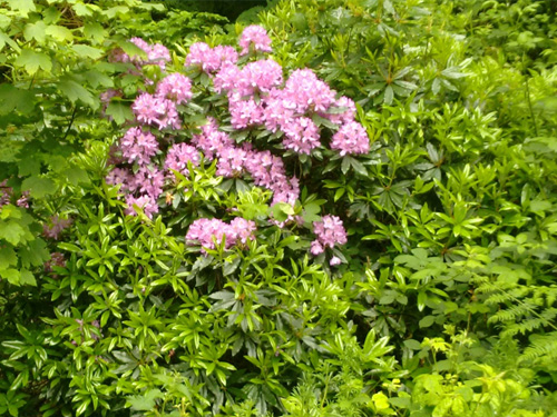 Rhodedendron Ponticum