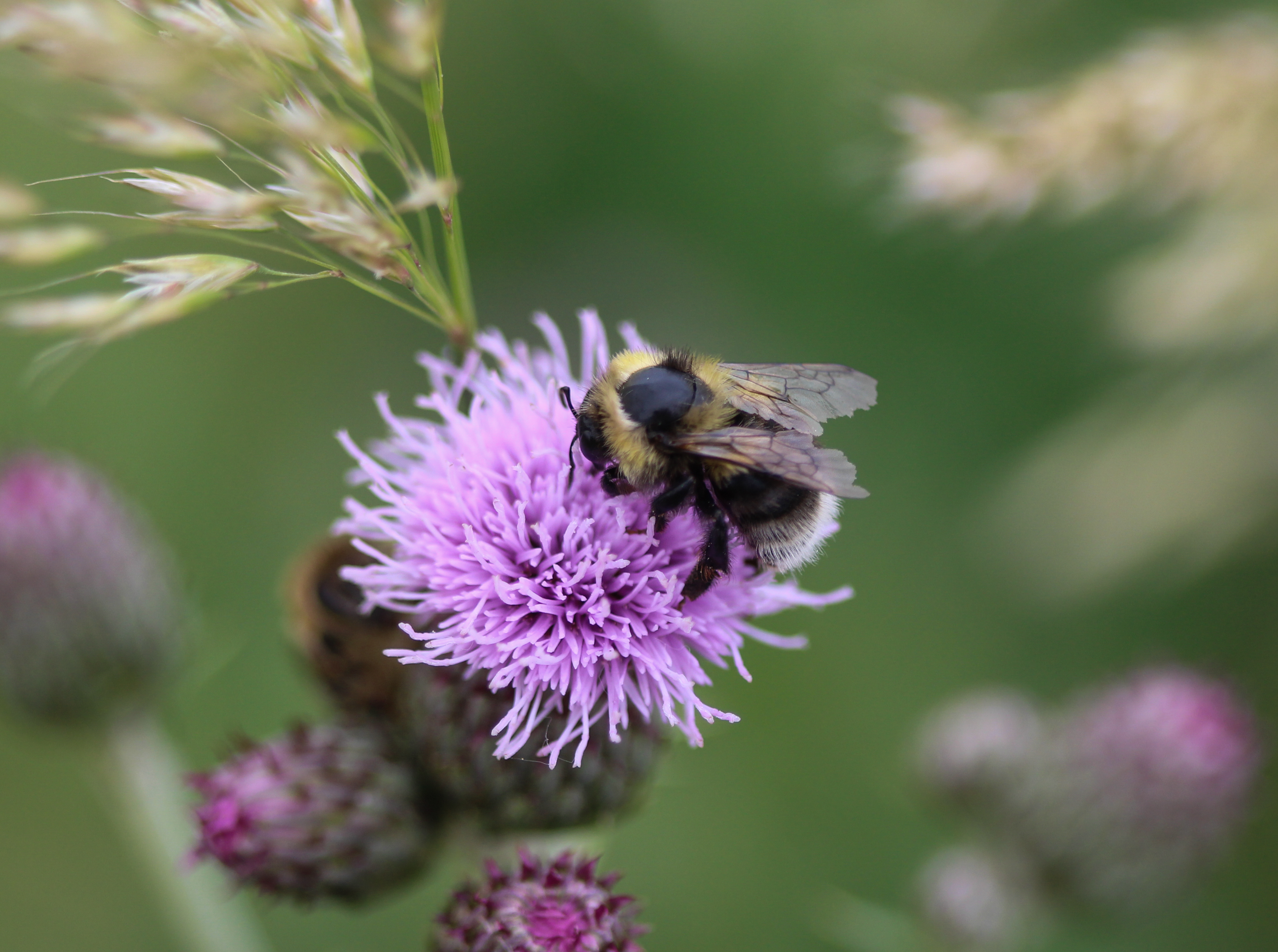 Bombus sylvarum, the shrill carder bee or knapweed carder bee, collecting nectar from flower