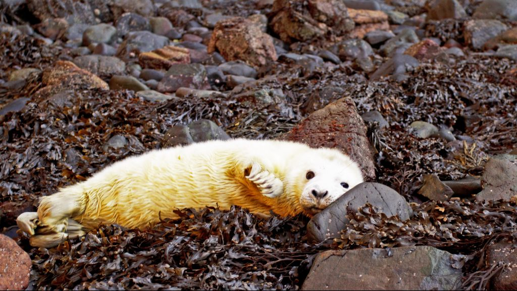 Seal pup on Skomer Island taken by National Park Ranger Chris Taylor