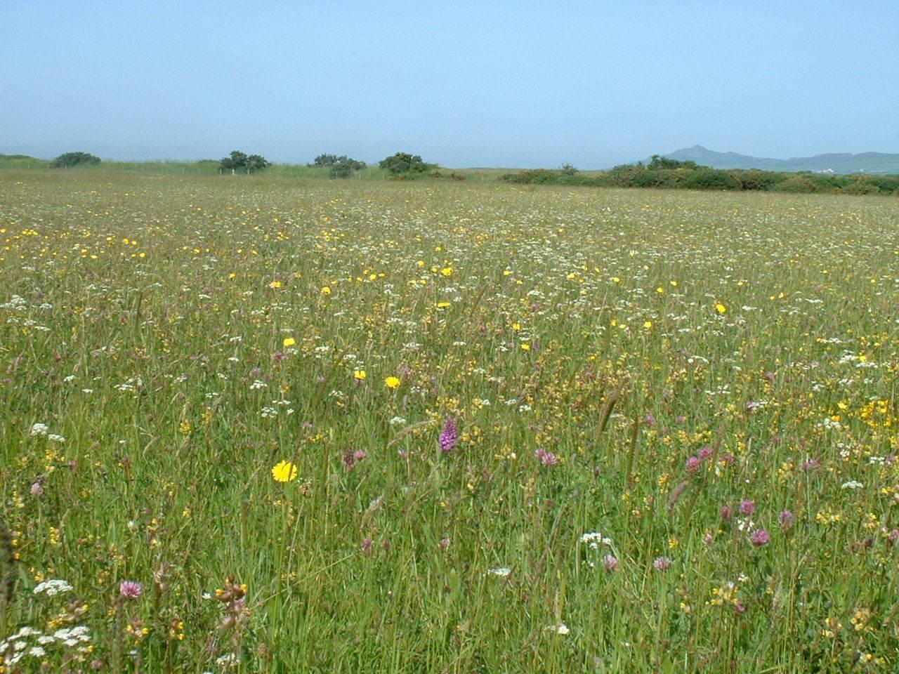 Wildflower Meadow on St Davids Airfield, Pembrokeshire Coast National Park, Pembrokeshire, Wales, UK