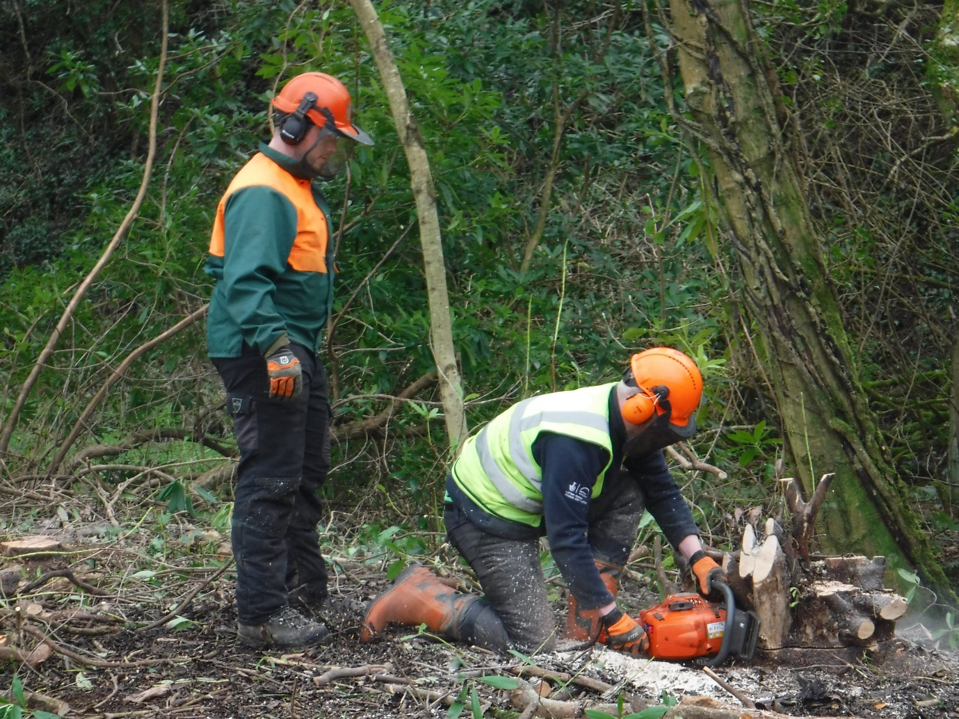 Removing Rhododendron ponticum at Trecwn, Pembrokeshire, Wales, UK