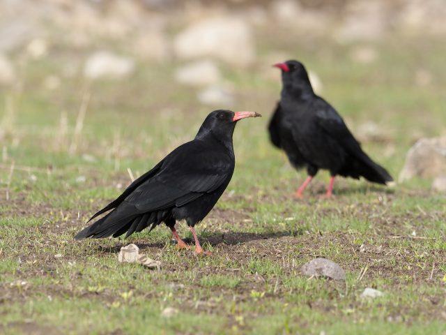 Chough, Pyrrhocorax pyrrhocorax, two birds on ground,