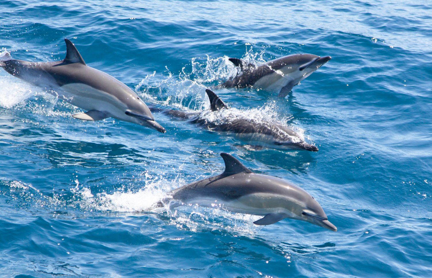 Pod of common dolphin breaching