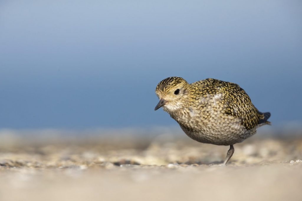 Golden plover foraging for food,