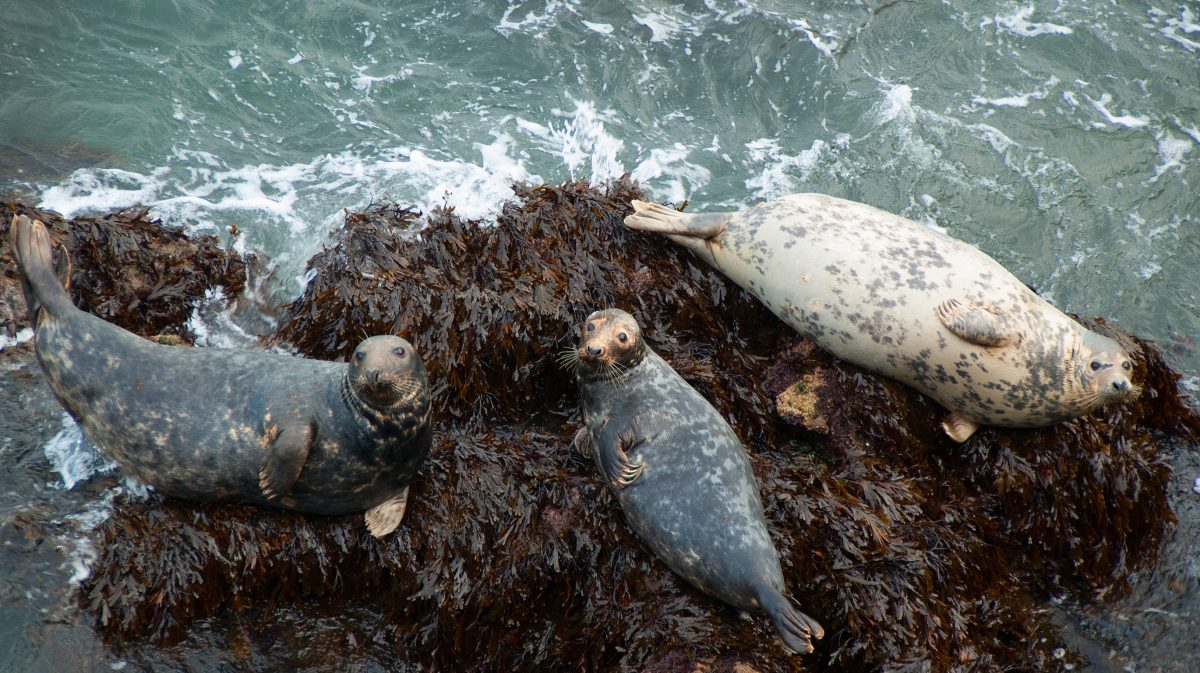 Seals Resting on rocks in Wales
