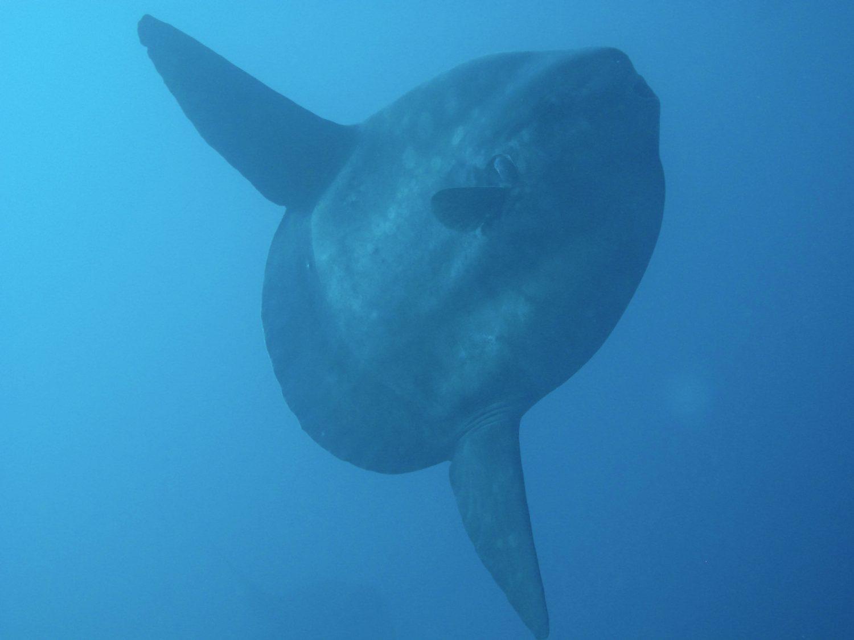 An ocean sunfish,
