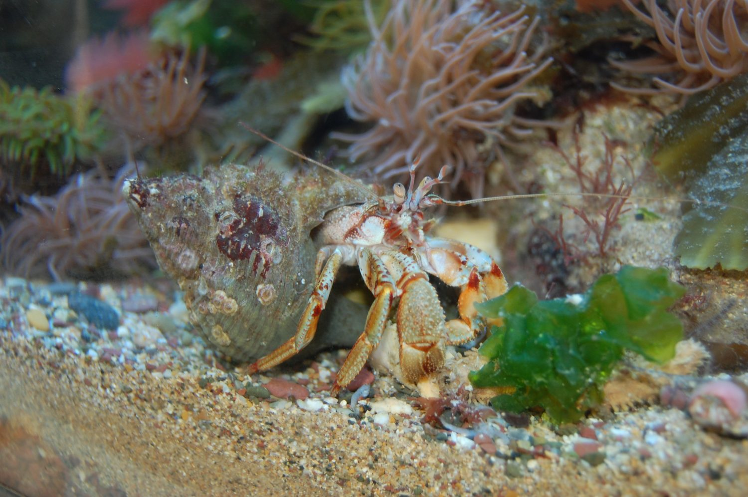 Hermit crab in Silent World rockpool tank, Pembrokeshire Coast National Park, Wales, UK