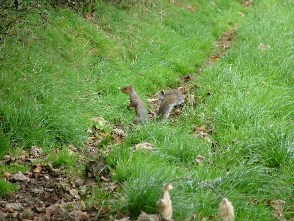 Squirrel in Canaston Woods