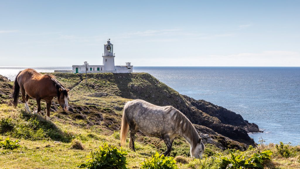 Welsh Mountain Ponies at Strumble Head