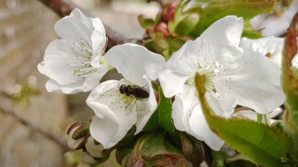 Bee pollinating a blossom