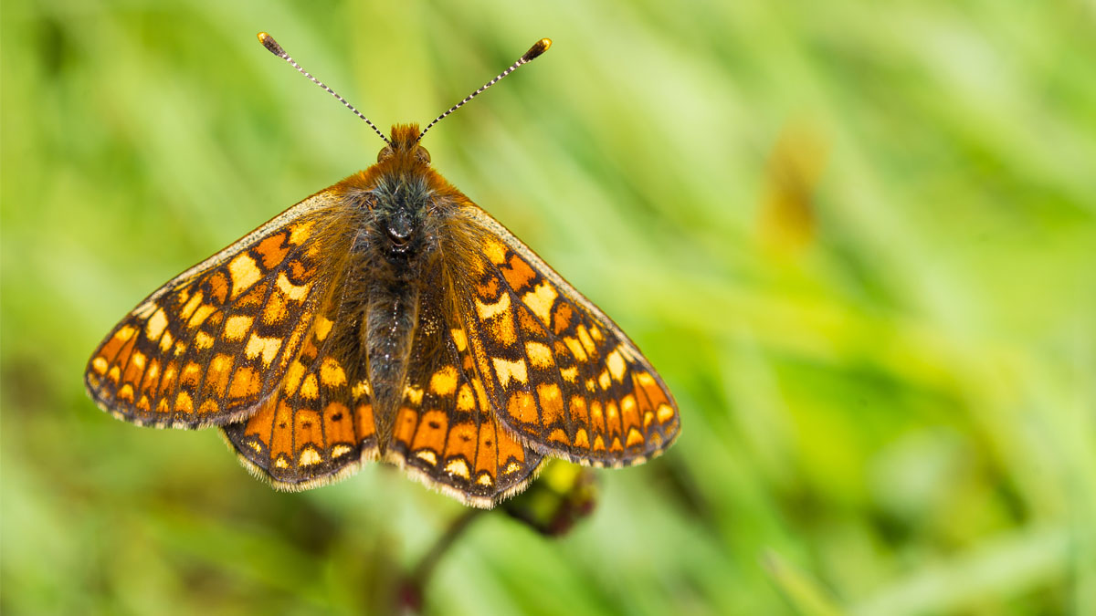 Orange and yellow butterfly perching on a flower (Marsh Fritillary)
