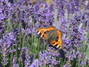 Orange butterfly on purple flowers