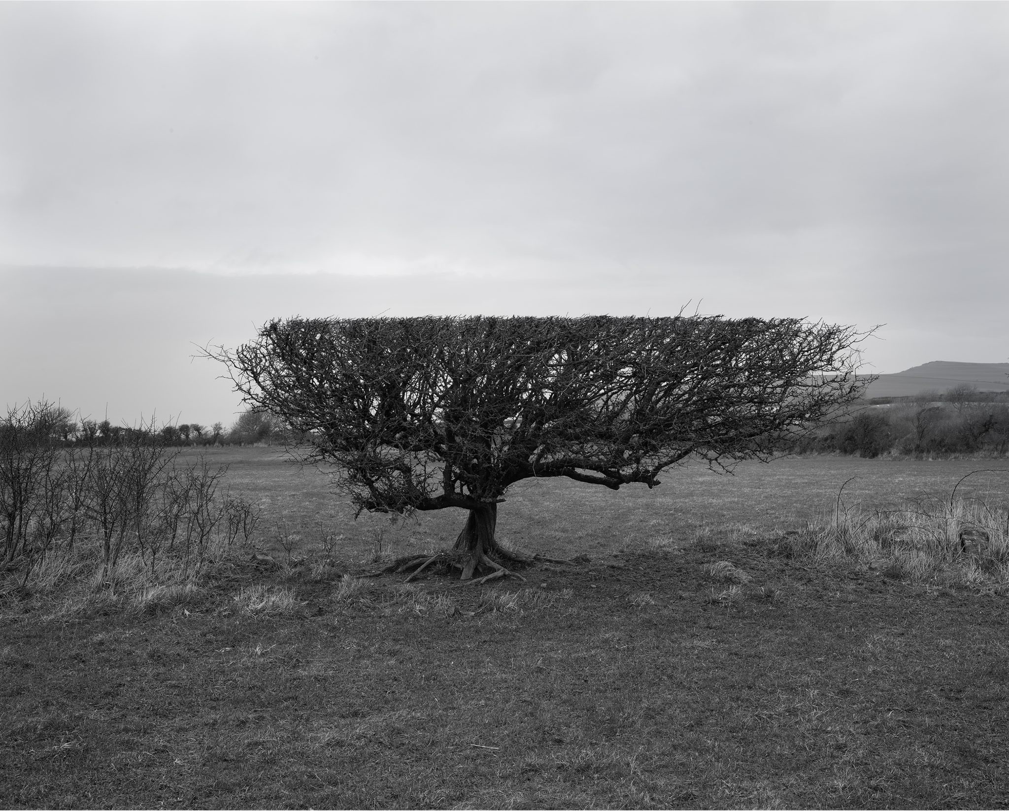 Black and white photograph of a hawthorn that has been flailed to leave a flat line across the top