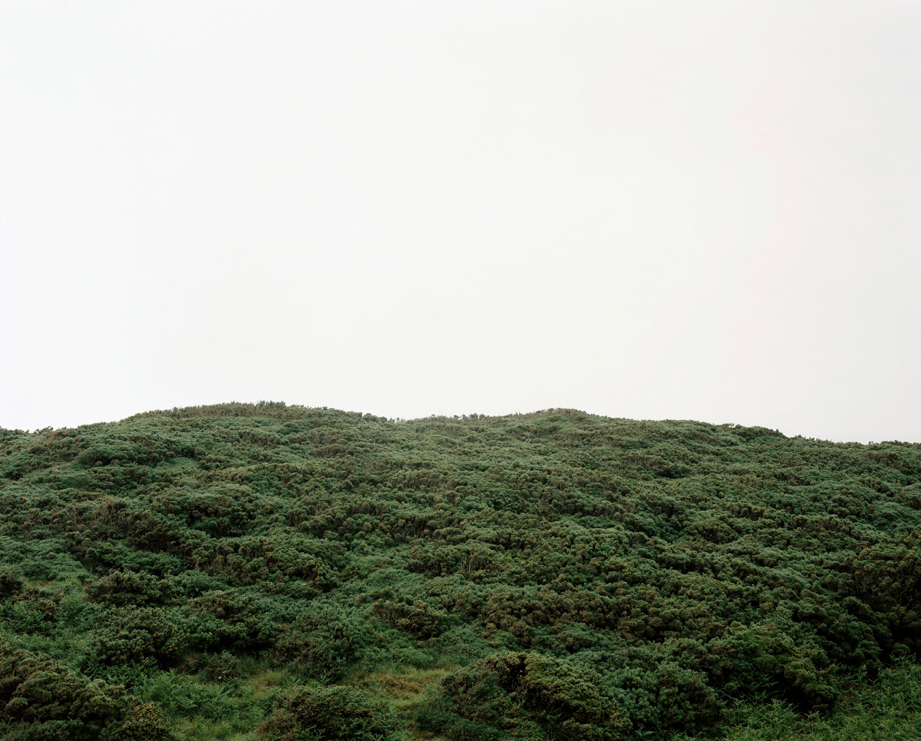 Photograph of a large area of gorse bushes