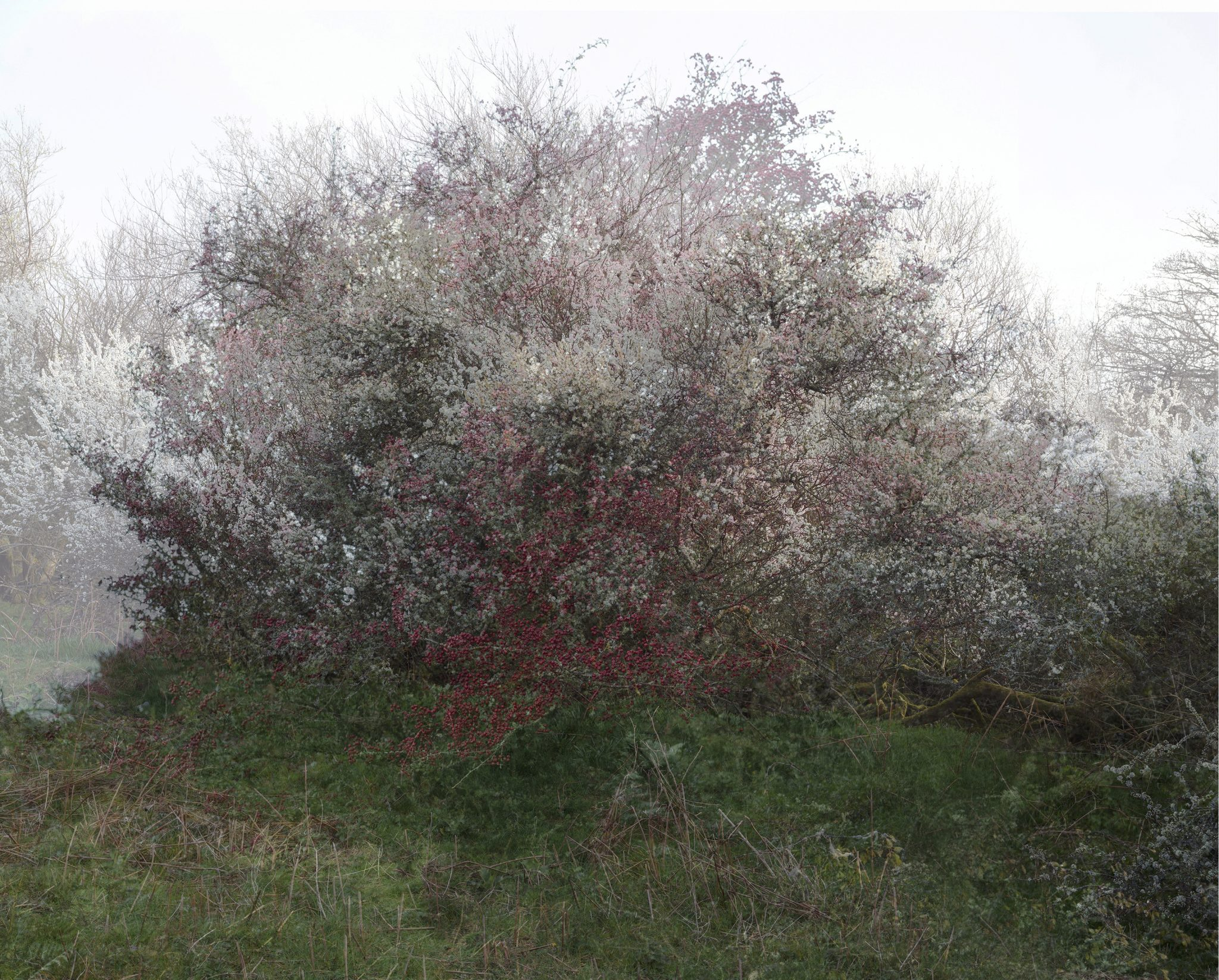 Combination of two photographs of a blackthorn in blossom in spring and hawthorn in autumn